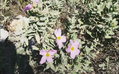 Anecdote botanique du confinement